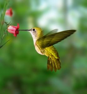 colibrideoro
